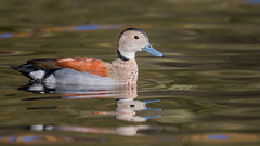 Ringed teal (JS_71) Tags: nature wildlife nikon photography outdoor 500mm bird new autumn see natur pose moment outside animal flickr colour poland sunshine beak feather nikkor d7500 water