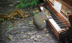 Brian_Symphony In The Woods 1 LG FX_120918_2D (starg82343) Tags: 2d brianwallace digitalmanipulation photoart fineartphotography squirrel graysquirrel outdoors outside animal mammal piano musicalinstrument music thenutcrackersuite leaves ground funny amusing digitalartwork manipulation photoshop keyboard ivory critter cute furry keys