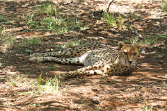 Laid Back Cat (Roy Lowry) Tags: cheetah annvandykcheetahcentre acinonyxjubatus