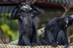 IMG_4576 (thanks for > 1 M. views) Tags: pairidaiza ape zoo canon bmeijers bertmeijers