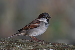House sparrow (john neal photography) Tags: housesparrow bird dorset uk naturephotography nature sony sigma wildlife garden smallbird flash male closeup passerdomesticus birdphotography