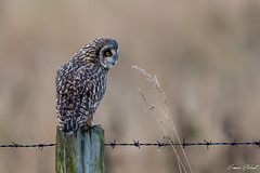 Short Eared Owl (Simon Stobart) Tags: short eared owl asio flammeus post north east england uk