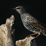 Starling. thumbnail