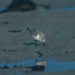 Birds #5 (David Baumgartner) Tags: bécasseau oiseau plage