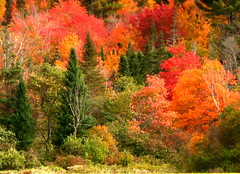 Soul-satisfying color (edenseekr) Tags: fallfoliage newhampshire newengland redmaple evergreens