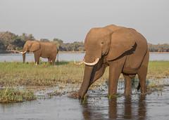 Grass-pulling (Tris Enticknap) Tags: africanelephant zambia elephant lowerzambezi africa loxodontaafricana