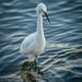 Santa Cruz, Egret