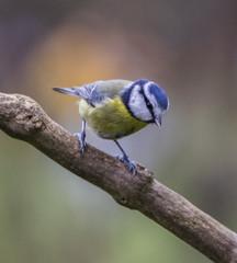 Blue Tit (8) (Mal.Durbin Photography) Tags: wildlifephotography maldurbin naturephotography wildbirds forestfarm nature naturereserve