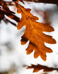Autumn foliage (alh1) Tags: england haxby northyorkshire york oak autumn foliage colour patterns