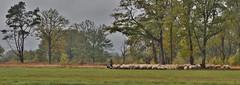 Empese en Tondense Heide (henkmulder887) Tags: empeseentondenseheide empe voorst tonden voorstonden ijsseldal veluwe gelderland guelders holland schaapskudde kudde herder schaap hond hei heide beheer natuurmonumenten