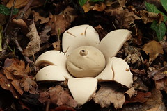 Earthstar fungi (hedgehoggarden1) Tags: earthstar fungi nature sonycybershot norfolk eastanglia uk fungus mushroom sony autumn
