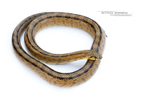 Zamenis scalaris (Matthieu Berroneau) Tags: reptile couleuvre serpent blanc échelons rhinechis scalaris fond trip sony alpha macro nature france herpéto wildlife animal animaux ff 24x36 full frame a7ii 7ii 7mk2 sonyilce7m2 herping herpeto reptilian reptilia serpente snake serpentes snakes serpiente field serpents sonya7ii sonya7mk2 sonyalpha7mark2 sonyalpha7ii 90 28 fe f28 g oss fe90f28macrogoss sonyfesonyfe2890macrogoss objectifsony90mmf28macrofe sel90m28g zamenisscalaris zamenis ladder laddersnake à couleuvreàéchelons eskailerasugea schlange ringelnatter culebra de escalera culebradeescalera white highkey high key textbook fondblanc fondo blanco fondoblanco