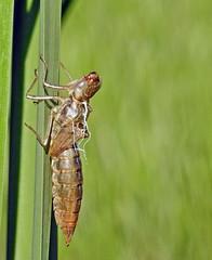Dragonflie Exuvia  - Exuvie de libellule  (P9_DSCN9569-1PE-20180816) (Michel Sansfacon) Tags: dragonfly libellule nikoncoolpixp900 parcnationaldesîlesdeboucherville parcsquébec faune exuvie exuvia coquilledinsectelaisséaprèsmétamorphose insectshellleftaftermetamorphosis