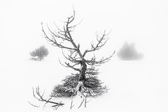 Reverence (DBPhotographe) Tags: mont ventoux vaucluse provence paca tree dead snow frost graphic fog mood mountain winter cold blizzard