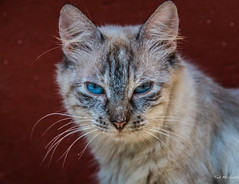 2018 - Mexico - Edzná - Office Cat (Ted's photos - Returns late Feb) Tags: 2018 campeche cropped edznã¡ mexico nikon nikond750 nikonfx tedmcgrath tedsphotos tedsphotosmexico vignetting yucatan cat edzná whiskers blueeyes face ears bokeh