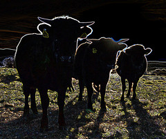Dexters in the sun (conall..) Tags: ballybannon ballybannan maghera countydown down northernireland dexter beef cattle bovine backlit backlight intothelight manipulated manipulatedimage photoshop elements 15 messing abstract weird glowing edges