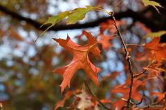 Bin ich nicht schön..... (Sockenhummel) Tags: britzergarten indidansummer laub blätter herbstlaub bunt herbst autumn fall garten park natur fuji xt10 grünberlin