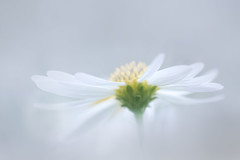 songe nuptial (christophe.laigle) Tags: christophelaigle fleur macro nature flower fuji blanc xpro2 xf60mm white