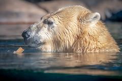 Polar Bear Chinook (helenehoffman) Tags: arctic chinook bear wildlife conservationstatusvulnerable mammal ursusmaritimus sandiegozoo ursidae polarbear animal polarbearplunge marinemammal icebear