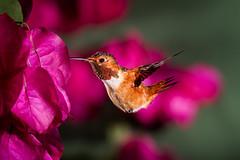 A Christmas Shot in Summer (Patricia Ware) Tags: allenshummingbird backyard birdsinflight bougainvilla canon ef500mmf4lsusm fullframe multipleflashes selasphorussasin ©2017patriciawareallrightsreserved specanimal sunrays5