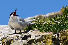 White-fronted Tern (bevanwalker) Tags: bird rock cliffs sky summer time photography plant ice flower outdoor nature native wildlife pose poise moment beach d750 nikon 2470mmf28 lens mouth indignation