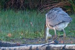 Grey Heron swallows pike, Upper Pen Pond (Johnchess) Tags: richmondpark 2november2018 fridaybirdgroup