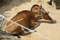 Chester Zoo Islands (139) (rs1979) Tags: chesterzoo zoo chester islands banteng
