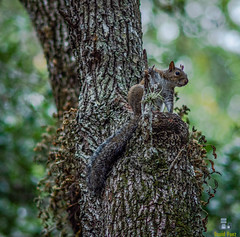 Squirrel (Davidpaez27) Tags: squirrel animal animals ardilla animales greynoldspark greynolds northmiamibeach