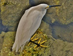 Snowy Egret In Fort Pierce (matthewbeziat) Tags: snowyegret fortpierce saintluciecounty treasurecoast florida floridabirds floridawildlife