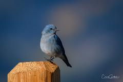 Hoppy (craig goettsch) Tags: mountainbluebird bird avian blue nature wildlife nikon d500