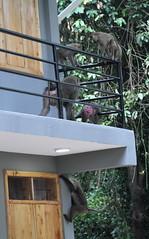 Baboons raiding rooms (jd.willson) Tags: jd willson jdwillson nature wildlife mammal primate baboon gombe national park tanzania africa