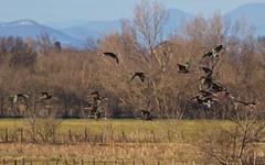 Ibis falcinelle - IMG_5406 (6franc6) Tags: occitanie languedoc gard 30 petitecamargue janvier 2019 6franc6