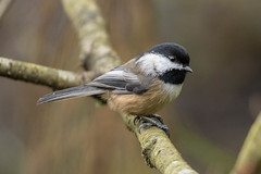 Black-capped Chickadee (JohnReynolds2012) Tags: 2018 vancouver bc wildlife bird birds canada stanleypark inaturalist animals britishcolumbia ca