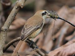 A good catch! (Sashinmania) Tags: brownshrike olympusem1 300mmf28 brown shrike birds