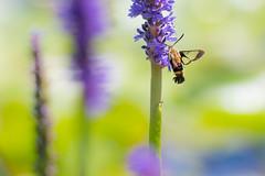 lake katherine. july 2018 (timp37) Tags: lake katherine july 2018 illinois palos hummingbird moth