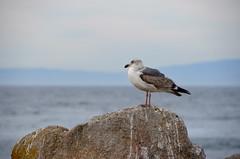 DSC_0336 (afagen) Tags: california pacificgrove montereypeninsula pacificocean ocean bird