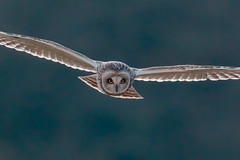 Shortie (PIX SW) Tags: seo shortie raptor owl shortearedowl