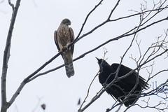 DSCF6481 (jojotaikoyaro) Tags: bird animal nature wildlife suginami tokyo japan fujifilm xh1 xf100400mm