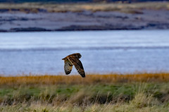 DSC_5118 seo (m.c.g.owen) Tags: asio flammeus short eared owl aust warth severn estuary south gloucestershire england birds january 9th 2019