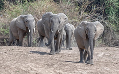The river beckons (tickspics ) Tags: southluangwa zambia africanelephant africa bushelephant elephantidae iucnredlistvulnerable loxodontaafricana luangwavalley mammalia proboscidea savannaelephant southluangwanationalpark