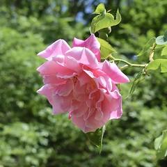 Soft pink (MJ Harbey) Tags: rose flower rosa rosaceae plantae nationaltrust hughendonmanor buckinghamshire leaves pinkrose nikon d3300 nikond3300