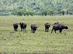 African buffalo - Syncerus caffer (Linda DV) Tags: africanbuffalo capebuffalo synceruscaffer bovidae artiodactyla lindadevolder travel africa tanzania 2018 nature victorialake geotagged fauna flora serengeti serengetinationalpark