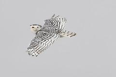 Snowy Owl (mikestreicher) Tags: snowyowl snowy owl