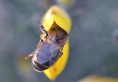 honey bee in a gorse flower (conall..) Tags: nikon afs nikkor f18g lens 50mm prime primelens nikonafsnikkorf18g closeup raynox dcr250 macro county down tullynacree nw551041 annacloy field northernireland bee honeybee apis mellifera apismellifera pollination flower desenfoque outoffocus narrow dof selective focus ulex europaeus gorse bush shrub scrub