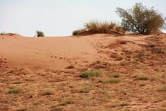 les dunes rouges du Kgalagadi (safrounet) Tags: ktppaysages kgalagadi southafrica afriquedusud aride arid semiaride semiarid sable sand rouge red trace track vie dune emprunte piste ktp kgalagaditransfrontierpark