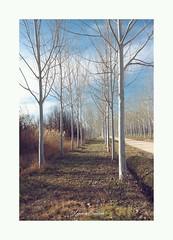 (Ignaciocenteno{photo}) Tags: ignaciocenteno canon canon7d tree arbol arboles arbolado paseo aranjuez madrid españa spain winter hiver invierno ramas