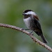 Chestnut-backed Chickadee (Poecile rufescens) (Ron Fredrick) Tags: