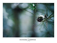 Szyszka-i-snieg (smoothna) Tags: winter wintertree snowy nature smoothna d90 nikkor55200 woods forest zima szyszka las zimowylas