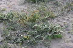 Flora en la playa de Castelldefels (esta_ahi) Tags: castelldefels platja playa flora plantas baixllobregat barcelona spain españa испания