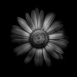 Backyard Flowers In Black And White 31 thumbnail